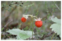 Strawberries in the forest